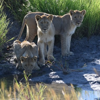 Lion Brothers in South Africa