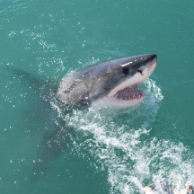 Great White Shark in South Africa