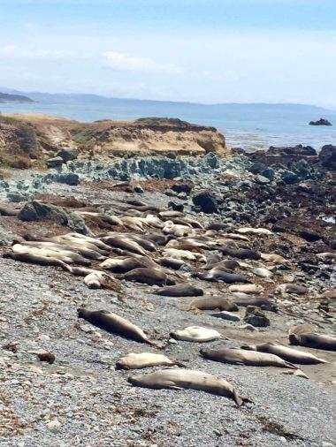 Elephant Seals past San Simeon