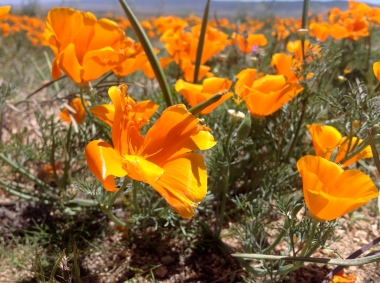 Poppies in the Windy Afternoon