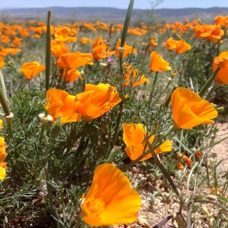 Poppies Blowing in the Wind