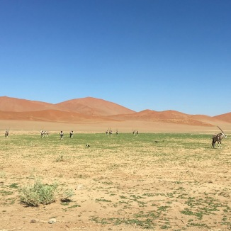 Oryx Grazing by the Dunes