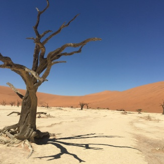 Camel Thorn Tree