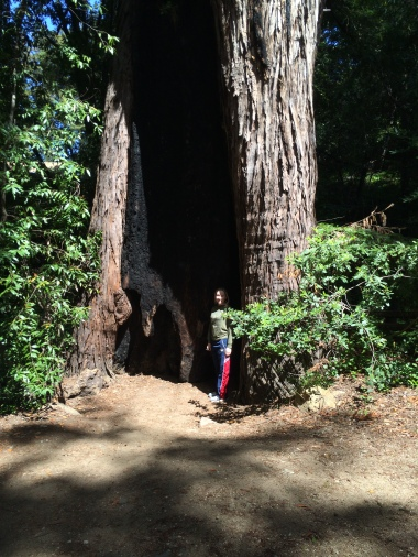 Redwood in Pfeiffer Park