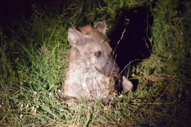 Spotted Hyena at Night