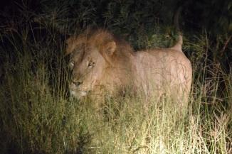 Male Lion Walking Through the Bush at Night