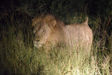 Male Lion Walking Through the Bush at Night