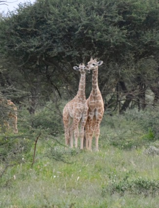 Posing Giraffes
