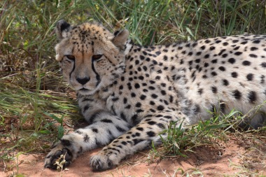Cheetah Resting on Side of Road