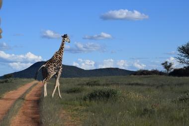 Solo Giraffe