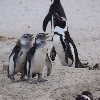 Penguin Mom and Chicks