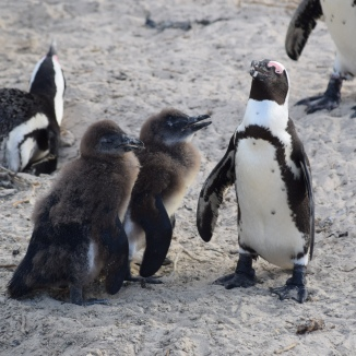 Penguin on Nest and Mom with Chicks