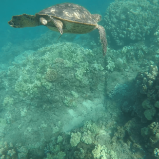 Turtle at Napili Bay