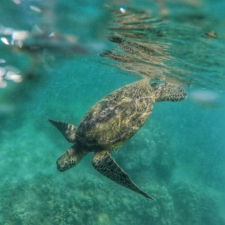 Turtle in Napili Bay
