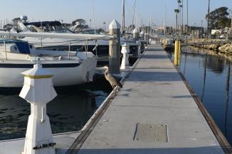 Blue Heron on the Dock at Oceanside Harbor