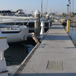 Blue Heron on the Dock at Oceanside Harbor