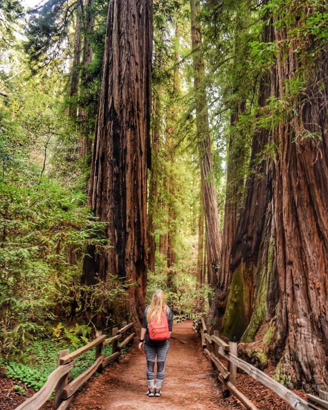 Redwood Trees in Muir Woods, California